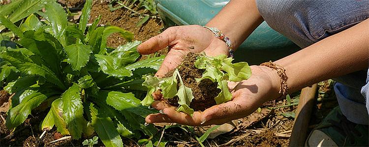 A foto mostra uma mão colhendo folhas verdes da terra.